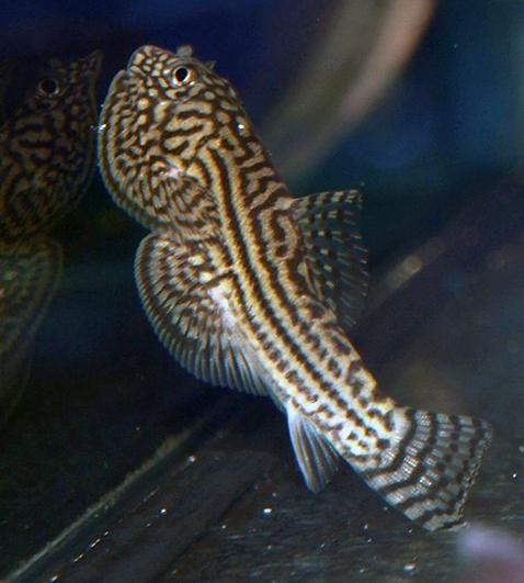 Aquarium poissons sewellia lineolata poisson exotique for Nettoyeur aquarium poisson