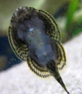 Sewellia lineolata femelle
