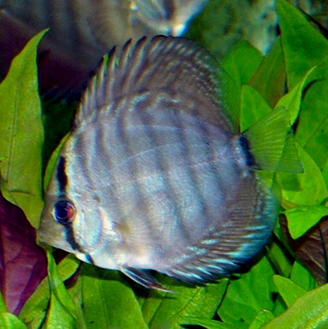 Symphysodon aequifasciatus bleu
