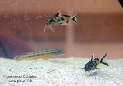 Synodontis petricola et julidochromis regani