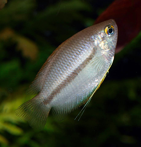 Colisa chuna femelle (Trichogaster chuna)