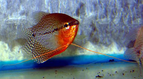 Trichogaster leerii mâle