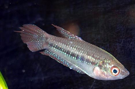 Trichopsis schalleri