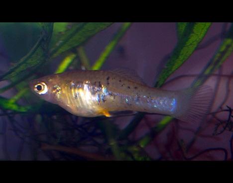 Xiphophorus milleri