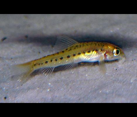 Tuberoschistura arakanensis