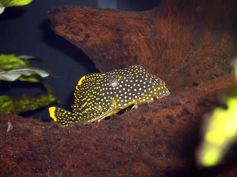 Pleco Gold Nugget