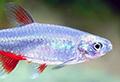 aphyocharax anisitsi aquarium et poissons rares