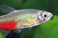 aphyo rathbuni aquarium et poissons rares