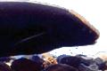 apteronotus albifron aquarium et poissons rares