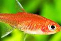 axelrodia riesei aquarium et poissons rares