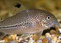 corydoras julii aquarium et poissons rares
