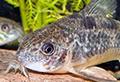 corydoras paleatus aquarium et poissons rares
