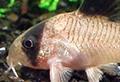 corydoras panda aquarium et poissons rares