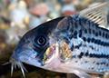corydoras  schwartzii aquarium et poissons rares