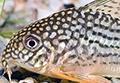 Corydoras sterbai aquarium et poissons rares