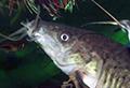 dianema urostriatum aquarium et poissons rares