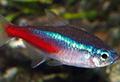 paracheirodon innesi poisson rare aquarium et poissons rares