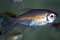 phenacogrammus interruptus aquarium et poissons rares