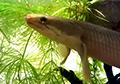 polypterus senegalus senegalus