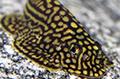 sewellia lineolata aquarium et poissons rares